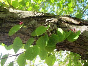 Im Herbst entfaltet der Kuchenbaum einen Lebkuchenduft, der auch bei Demenzerkrankten alte Erinnerungen weckt. Im Berggarten Hannover stehen zwei Kuchenbäume.